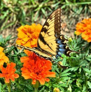 papillon et oeillet d'inde , jour des morts au mexique